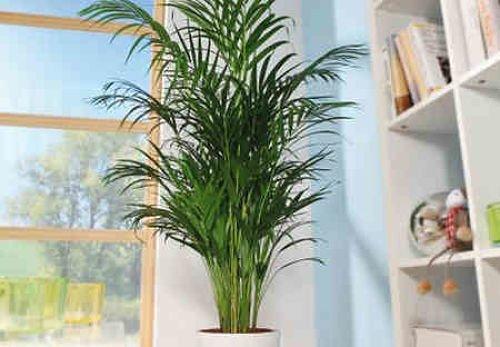 Арековая пальма в интерьере