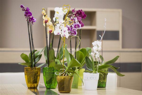 Комнатный цветок орхидея  не выходит из моды