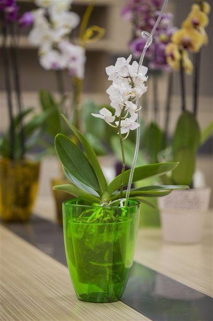 Комнатный цветок орхидея прозрачные горшки