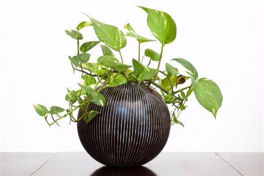 Комнатные растения по фэн-шуй  Эпипремнум золотистый