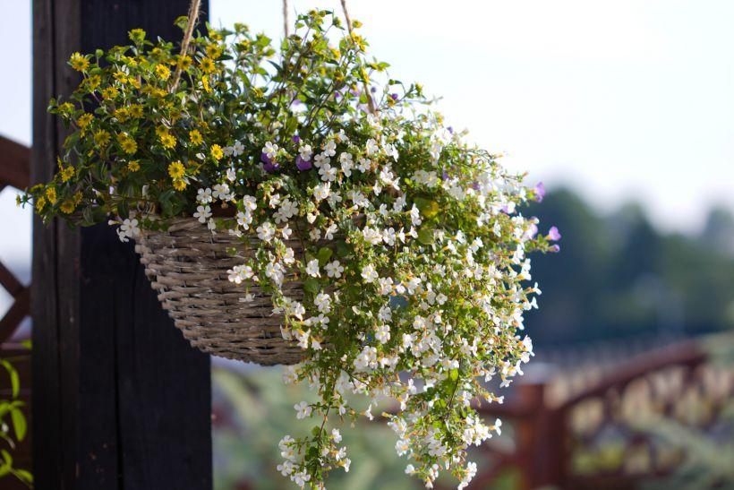 Бакола - цветы на балкон южный