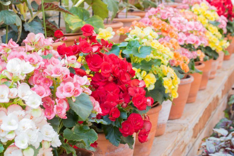 Бегонии - цветы на северный и восточный