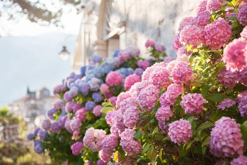 Гортензия - цветы на балкон северный и восточный