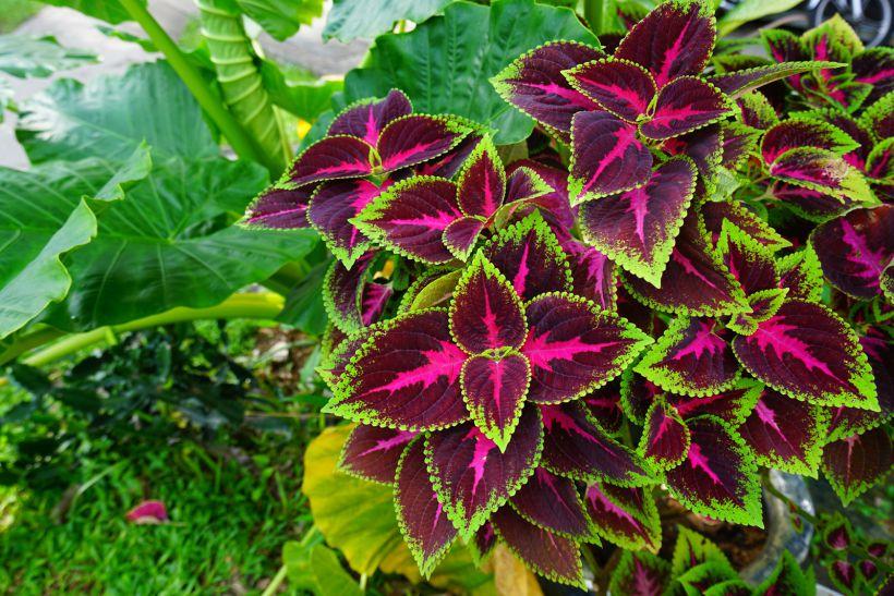 Пачули Blumego - декоративное растение