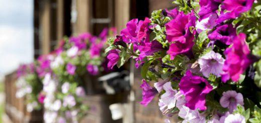 Петунии - цветы на балкон южный и западный