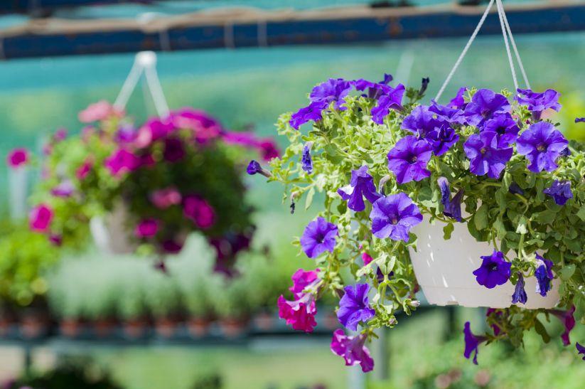 Петуния цветет на южном балконе