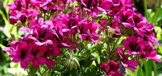 герань будет обильно цвели на балконе и в саду: от весны до осени